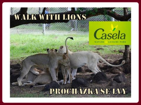 prochazka_se_lvy_-_walk_with_lions