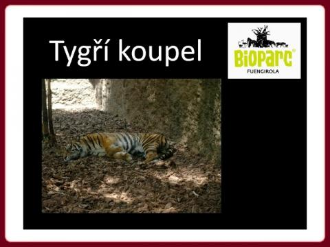 andalusia_-_fuengirola_-_bioparc_tygri_koupel_2010