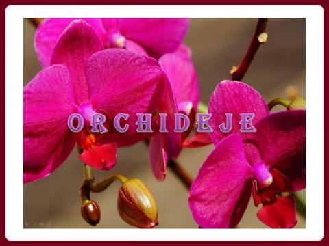 orchideje_yveta