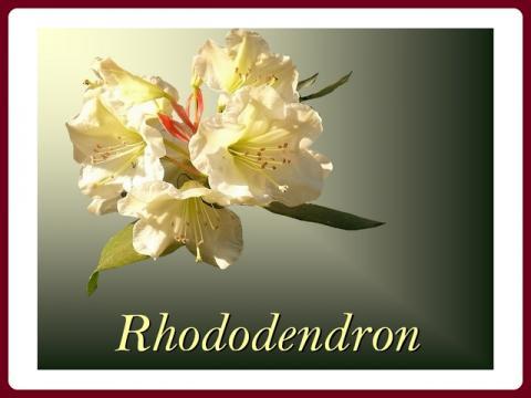 rhododendron_-_yveta