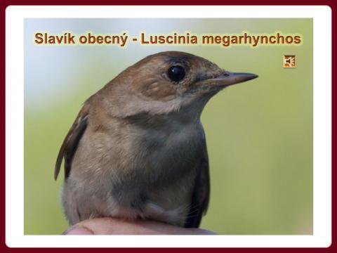 slavik_obecny_-_luscinia_megarhynchos