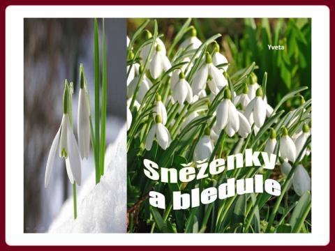snezenky_a_bledule_-_yveta