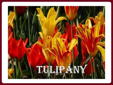 tulipany_-_yveta